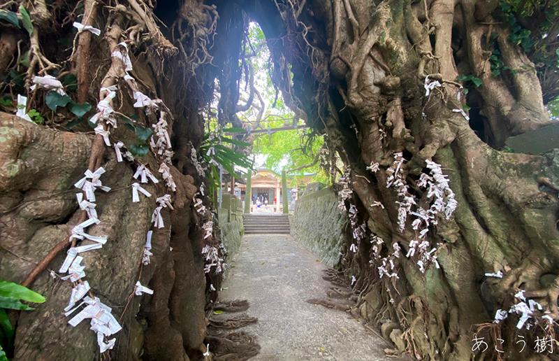 あこう樹(国天然記念物:奈良尾神社)