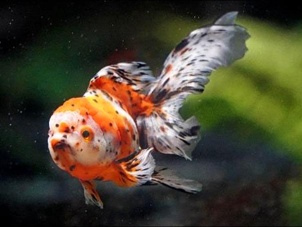 夢幻黄金魚展