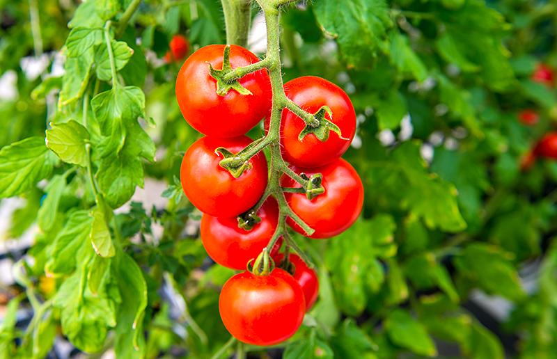 Hapitoma トマト