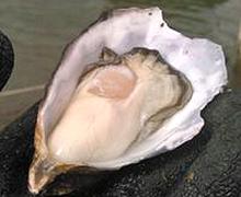 三倍体マガキ (真牡蠣)