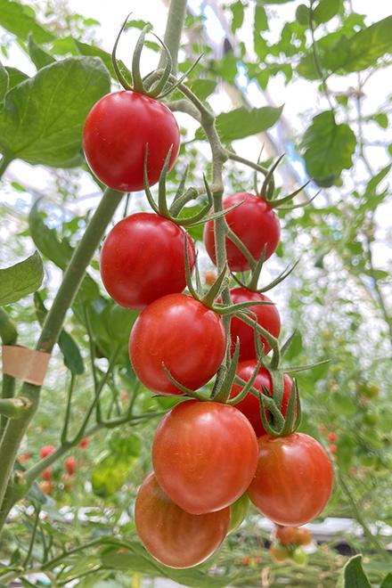 実をよく知る肥料屋さんのトマト